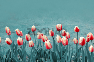 Close-up of white red tulips. Spring background.