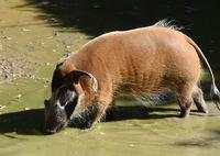 Pinselohrschwein; Potamochoeros Porcus