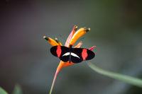 Schmetterling: Heliconius erato