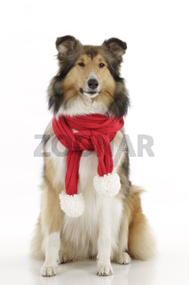 American Collie, Christmas