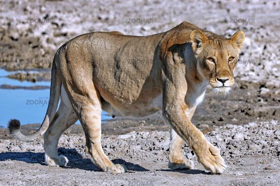Löwin, Etosha-Nationalpark, Namibia, (Panthera leo) | lioness, Etosha National Park, Namibia, (Panthera leo)