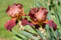 German iris, Iris barbata