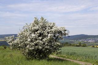 Weissdornbusch am Rheinsteig