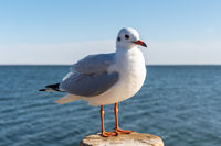 black-headed gull, red-billed gull