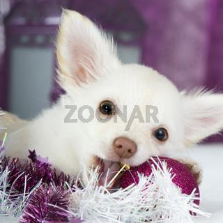 Chihuahua in moderner Weihnachtsdekoration