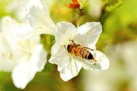 Honigbiene kriecht in Blüte