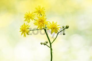 Crepis biennis, Wiesen-Pippau vor unscharfem Hintergrund