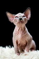 Portrait of Canadian Sphynx Cat kitten sitting on white carpet with long pile and black background