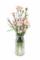beautiful carnation in glass vase isolated on white