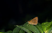 Grey Scrub Hopper, Aeromachus jhora, Garo Hills, Meghalaya, India