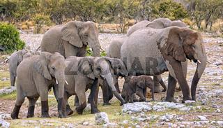 Elefantenherde, Etosha-Nationalpark, Namibia, (Loxodonta africana)   elephants, Etosha National Park, Namibia, (Loxodonta africana)
