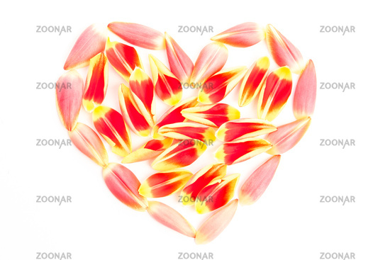 Tulips petal in a heart shape