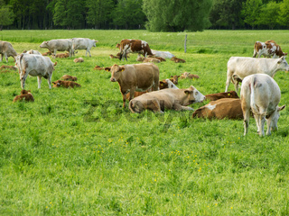 Cows with their calves in a pasture eng