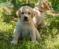 Labrador puppy in green grass