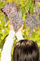 grape in a vineyard