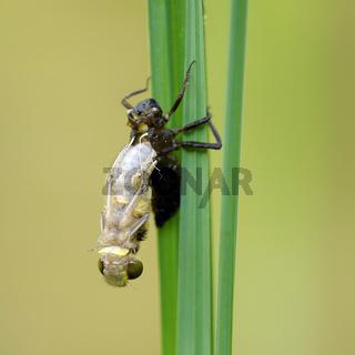 Vierfleck Libelle Geburt