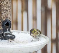 Female siskin at a bird feeder