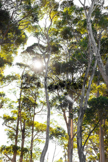 Backlit sunshine view of Eucalyptus Trees in mountain forest