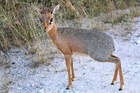 Damara Dik Dik, Madoqua damarensis, Etosha, Namibia, die kleinste Antilope Afrikas, the smallest antelope in africa
