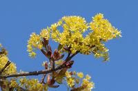 Blüten des Spitzahorns