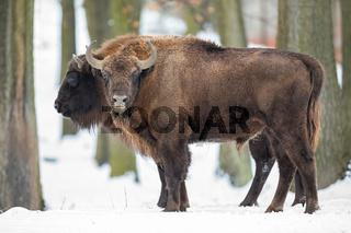 Pair of european bison grazing in wilderness in wintertime