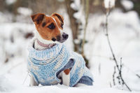 Small Jack Russell terrier sitting on snow covered field wearing knitted white blue jumper, looking curiously