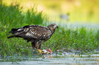 White-tailed eagle feeding riverbank in summer nature