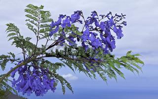 Jacarandablüten - Jacaranda Mimosifolia