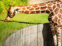 A big graceful african exotic giraffe with long tall elegant neck and spotted pattern stretching its cute face and tongue into sunlight and wild green grass eating outdoor in a zoo safari animal park