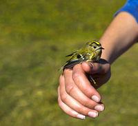 Wintergoldhähnchen (Regulus regulus) in den Händen eines Ornithologen bei der Vogelberingung