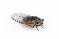 autumn cicada isolated
