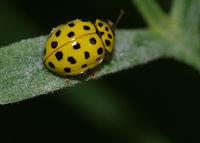 Marienkäfer gelb