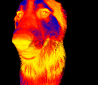 Portraits of dogs thermal image