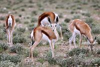 Springböcke, Etosha, Namibia, Antidorcas marsupialis | Springboks, Etosha NP, Namibia