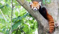 Red panda - Ailurus Fulgens - portrait. Cute animal resting lazy on a tree.
