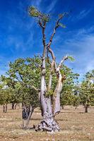 Moringa Geisterbaum im Geisterwald im Etosha NP, Namibia | Moringa tree, Moringa ovalifolia, at Etosha NP, Namibia