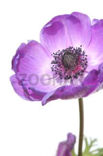 lila Garten-Anemone, purple poppy anemone, (Anemone coronaria)