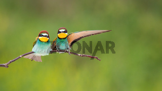 Couple of european bee-eaters sitting on twig with copy space.