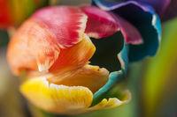 Nahaufnahme von einer Tulpenbluete