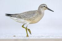 Ein Knutt im Uebergangskleid Sommer-Winter sucht am Strand nach Nahrung