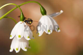 Wespe auf Märzenbecherblüte