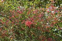 20211002_Euonymus europaeus, Pfaffenhütchen, European spindle.jpg