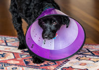 Black poodle terrier in plastic recovery cone to stop licking