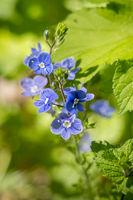 Germander Speedwell (Veronica chamaedrys) growing in springtime in Sussex