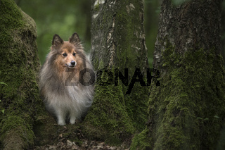 Cute shetland sheepdog standing between trees covered with moss in a green surrounding