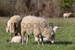 Schafe 7.jpg