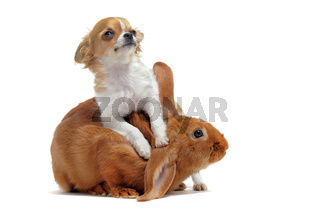 puppy chihuahua and bunny