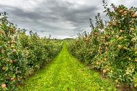 Apfelplantage mit roten, reifen Äpfeln, Hagnau am Bodensee, Baden-Württemberg, Deutschland