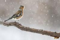Buchfinkmännchen im Schneetreiben