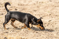 Young Jack Russell Terrier sniffs on yellow sand. The young brown-black dog shines in the sun. Seen from the side